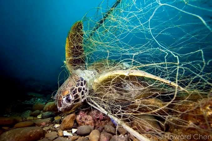 不想再看到台灣海龜纏死於廢棄網