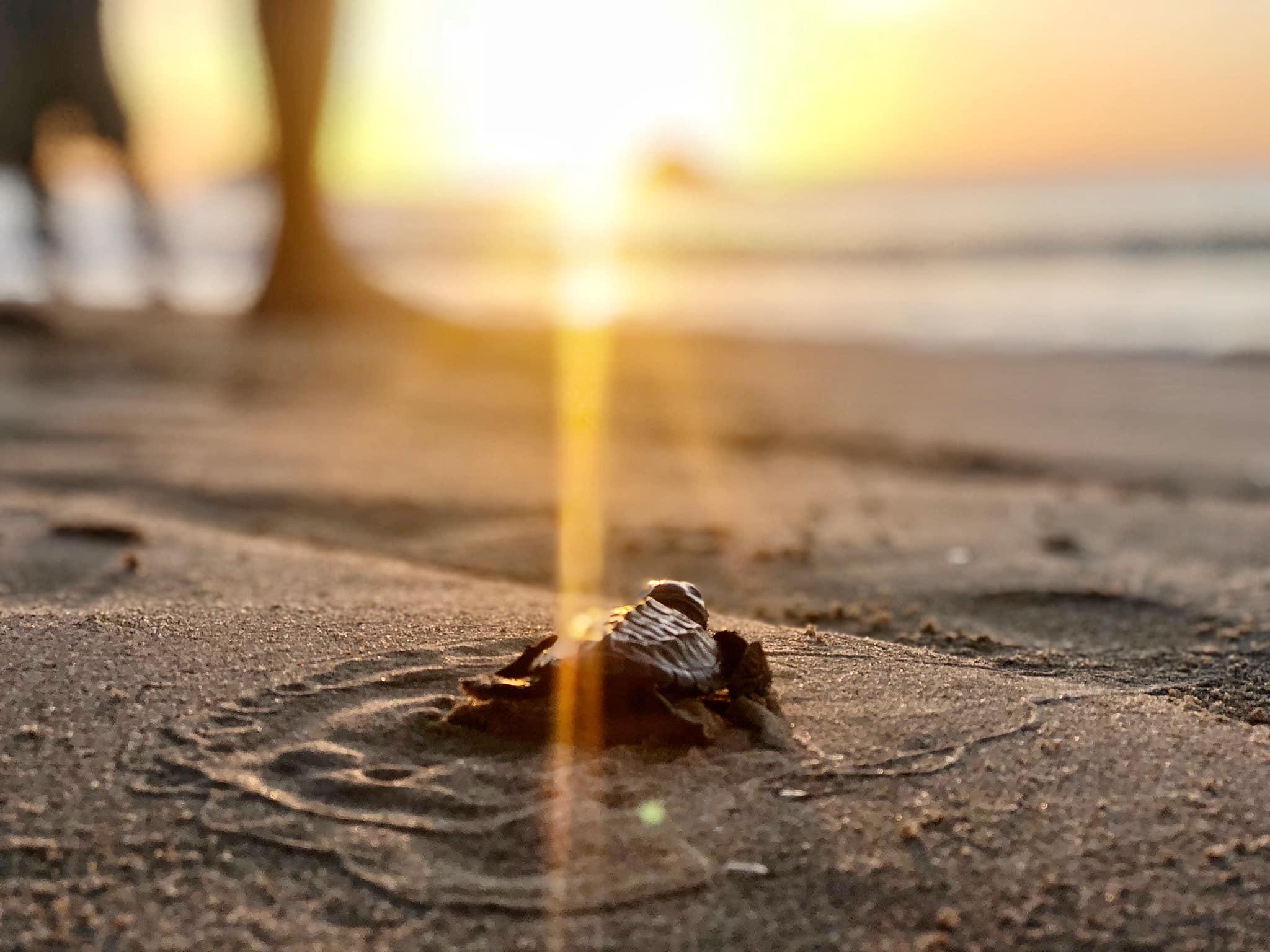 海龜寶寶就快要可以安然渡過2020這季了
