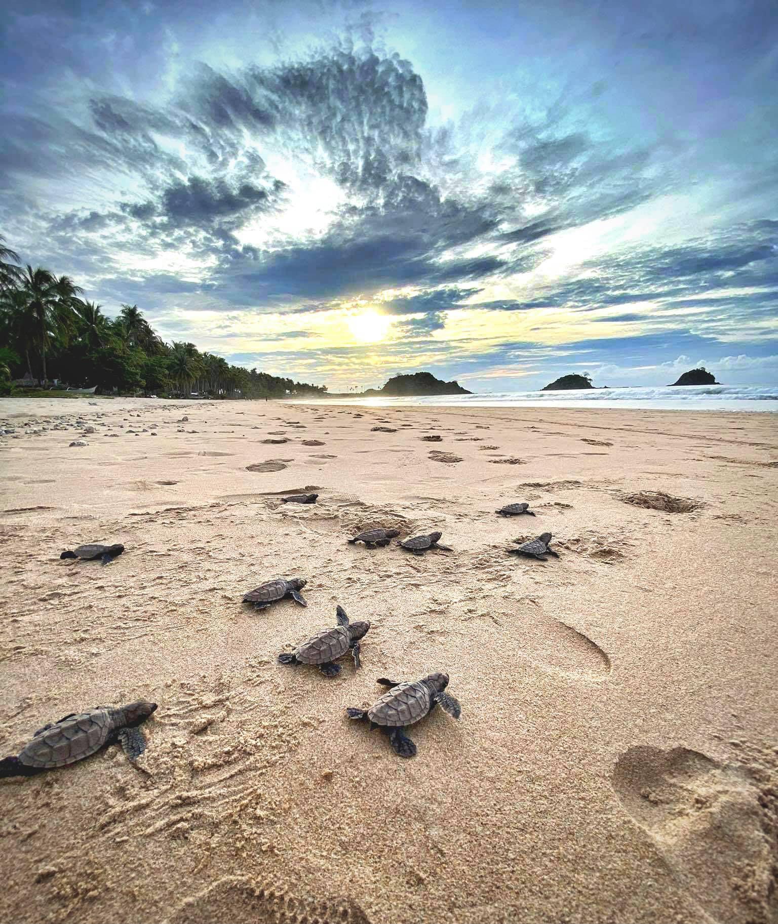 Nacpan沙灘驚見遍地海龜