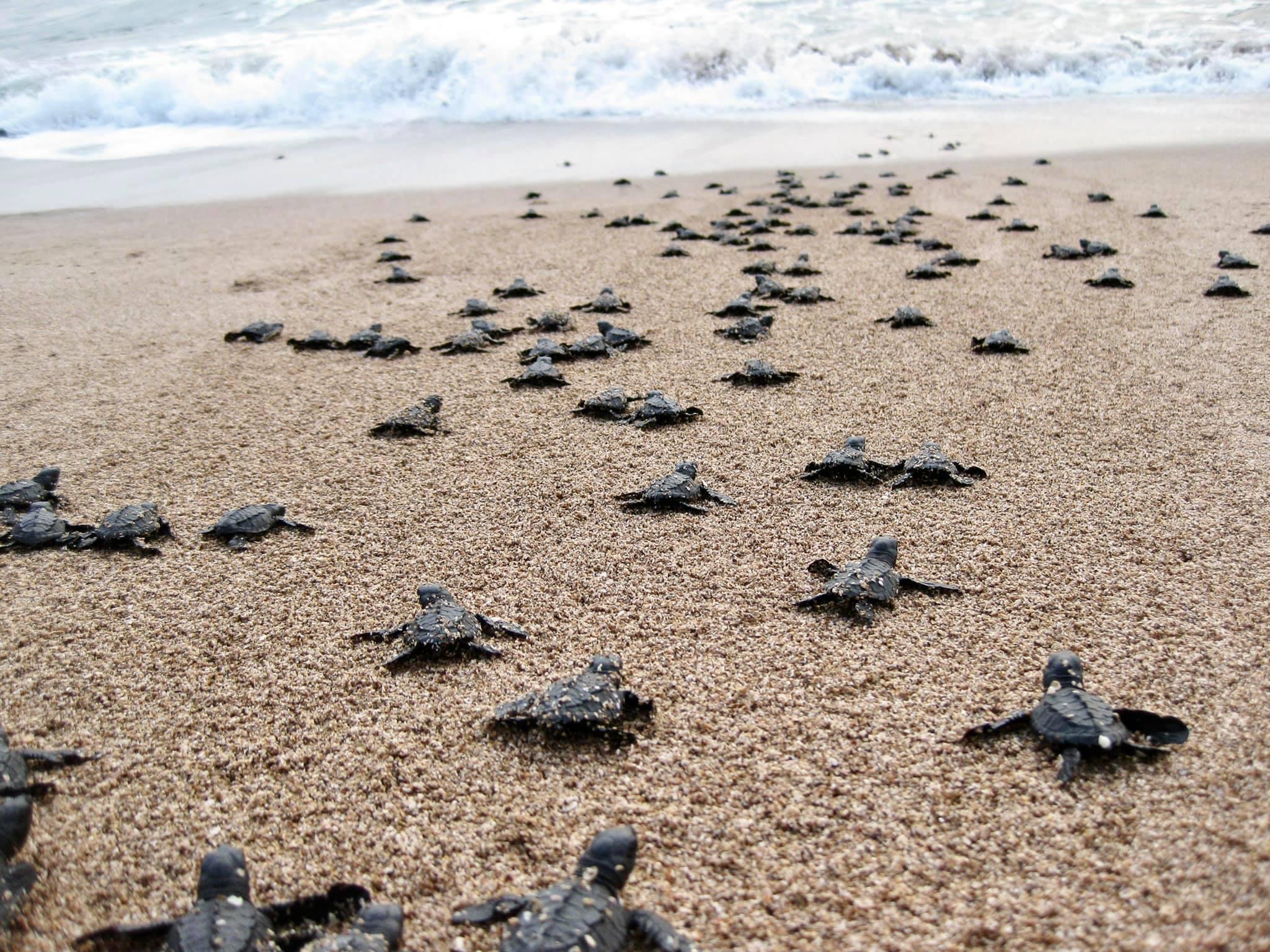 愛妮島Nacpan 海龜季尾聲