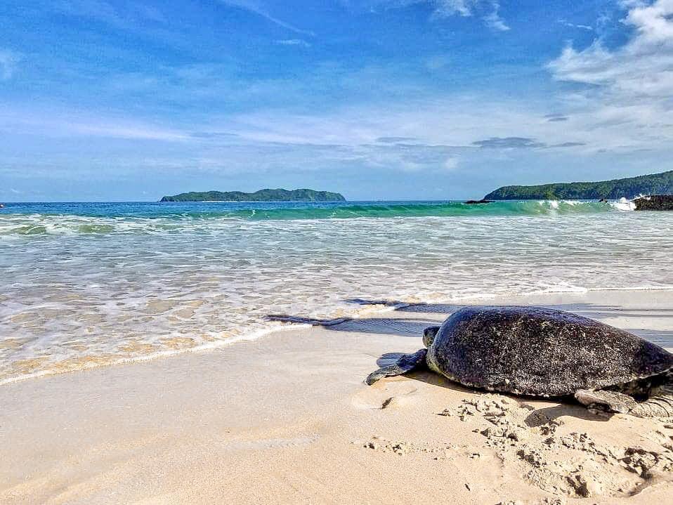 巨大海龜感覺奄奄一息的擱淺在沙灘⋯
