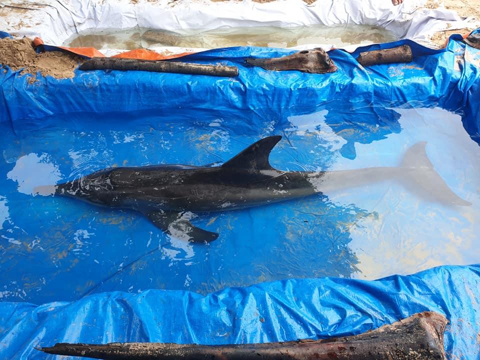 海豚救不活,胃中充滿塑膠保麗龍