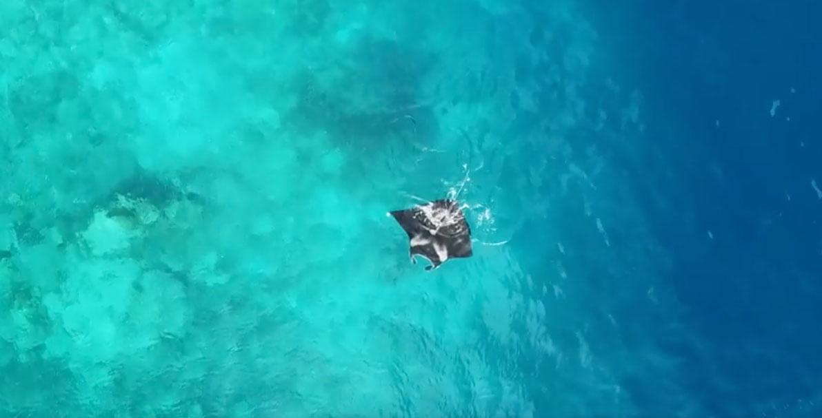 大型海洋保育生物-鬼蝠魟